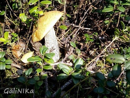 Сентябрь! Пора за грибами в лес идти!  Вырос беленький красавец около дорожки, на радость тому, кто мимо идёт и его заметит...  Заметила я, и скорее фотографирую!  фото 3