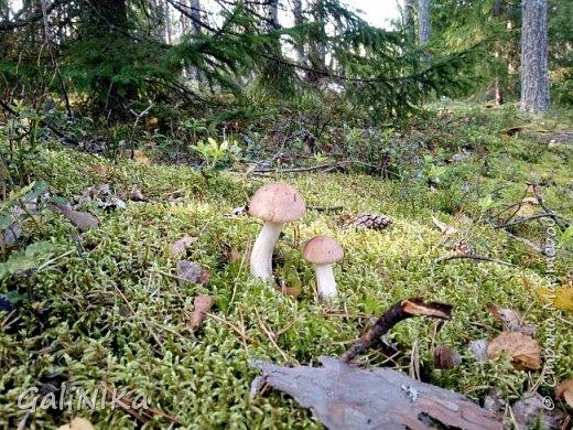 Сентябрь! Пора за грибами в лес идти!  Вырос беленький красавец около дорожки, на радость тому, кто мимо идёт и его заметит...  Заметила я, и скорее фотографирую!  фото 5
