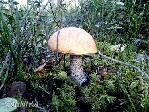 Сентябрь! Пора за грибами в лес идти!  Вырос беленький красавец около дорожки, на радость тому, кто мимо идёт и его заметит...  Заметила я, и скорее фотографирую!  фото 6