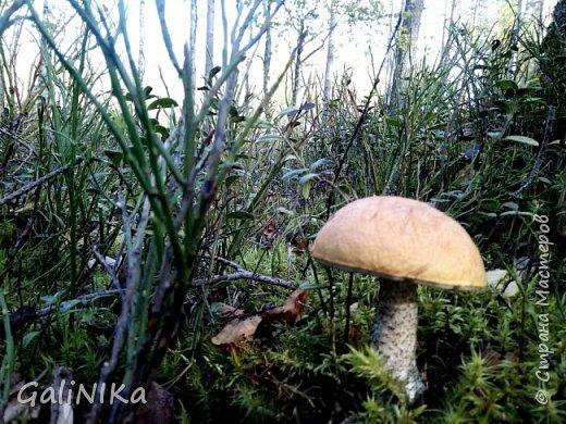 Сентябрь! Пора за грибами в лес идти!  Вырос беленький красавец около дорожки, на радость тому, кто мимо идёт и его заметит...  Заметила я, и скорее фотографирую!  фото 7