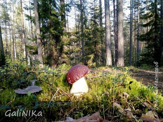 Сентябрь! Пора за грибами в лес идти!  Вырос беленький красавец около дорожки, на радость тому, кто мимо идёт и его заметит...  Заметила я, и скорее фотографирую!  фото 1