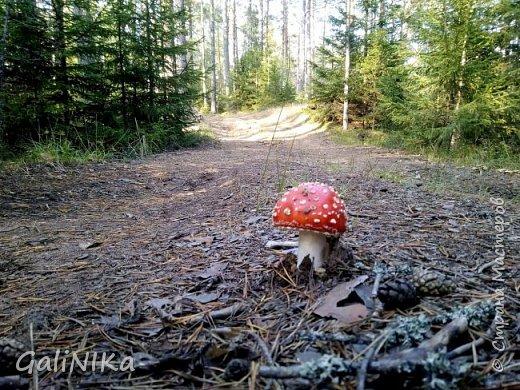 Сентябрь! Пора за грибами в лес идти!  Вырос беленький красавец около дорожки, на радость тому, кто мимо идёт и его заметит...  Заметила я, и скорее фотографирую!  фото 2