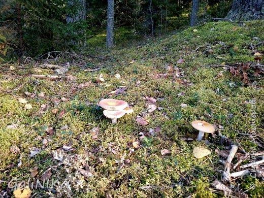Сентябрь! Пора за грибами в лес идти!  Вырос беленький красавец около дорожки, на радость тому, кто мимо идёт и его заметит...  Заметила я, и скорее фотографирую!  фото 10
