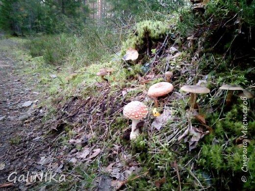 Сентябрь! Пора за грибами в лес идти!  Вырос беленький красавец около дорожки, на радость тому, кто мимо идёт и его заметит...  Заметила я, и скорее фотографирую!  фото 11