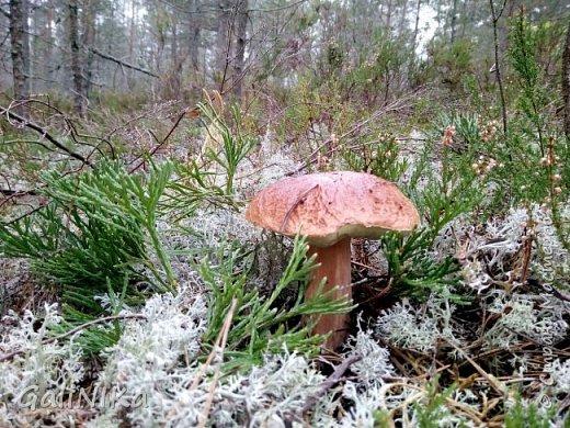 Сентябрь! Пора за грибами в лес идти!  Вырос беленький красавец около дорожки, на радость тому, кто мимо идёт и его заметит...  Заметила я, и скорее фотографирую!  фото 12