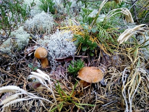 Сентябрь! Пора за грибами в лес идти!  Вырос беленький красавец около дорожки, на радость тому, кто мимо идёт и его заметит...  Заметила я, и скорее фотографирую!  фото 13