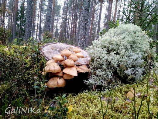 Сентябрь! Пора за грибами в лес идти!  Вырос беленький красавец около дорожки, на радость тому, кто мимо идёт и его заметит...  Заметила я, и скорее фотографирую!  фото 14