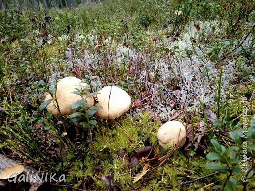 Сентябрь! Пора за грибами в лес идти!  Вырос беленький красавец около дорожки, на радость тому, кто мимо идёт и его заметит...  Заметила я, и скорее фотографирую!  фото 15