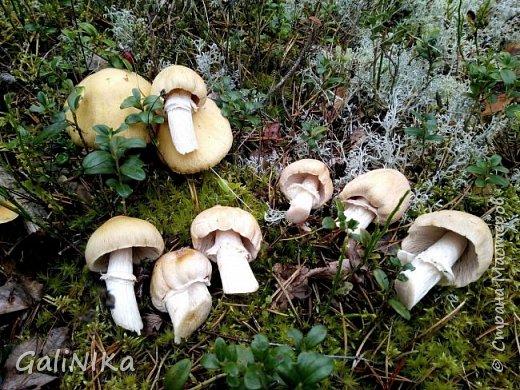 Сентябрь! Пора за грибами в лес идти!  Вырос беленький красавец около дорожки, на радость тому, кто мимо идёт и его заметит...  Заметила я, и скорее фотографирую!  фото 18