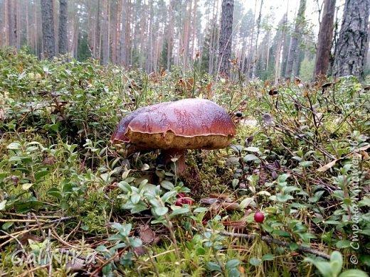 Сентябрь! Пора за грибами в лес идти!  Вырос беленький красавец около дорожки, на радость тому, кто мимо идёт и его заметит...  Заметила я, и скорее фотографирую!  фото 22