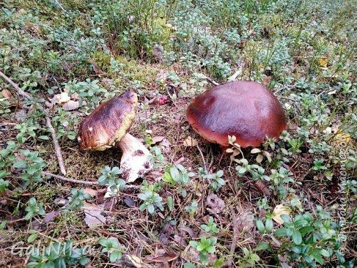 Сентябрь! Пора за грибами в лес идти!  Вырос беленький красавец около дорожки, на радость тому, кто мимо идёт и его заметит...  Заметила я, и скорее фотографирую!  фото 23