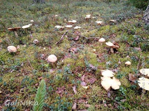 Сентябрь! Пора за грибами в лес идти!  Вырос беленький красавец около дорожки, на радость тому, кто мимо идёт и его заметит...  Заметила я, и скорее фотографирую!  фото 16