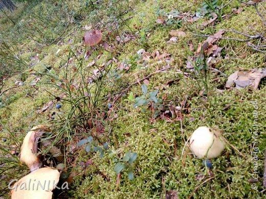 Сентябрь! Пора за грибами в лес идти!  Вырос беленький красавец около дорожки, на радость тому, кто мимо идёт и его заметит...  Заметила я, и скорее фотографирую!  фото 19