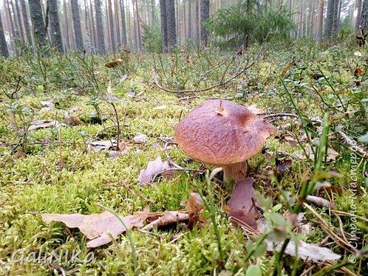 Сентябрь! Пора за грибами в лес идти!  Вырос беленький красавец около дорожки, на радость тому, кто мимо идёт и его заметит...  Заметила я, и скорее фотографирую!  фото 20