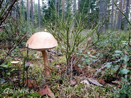 Сентябрь! Пора за грибами в лес идти!  Вырос беленький красавец около дорожки, на радость тому, кто мимо идёт и его заметит...  Заметила я, и скорее фотографирую!  фото 26