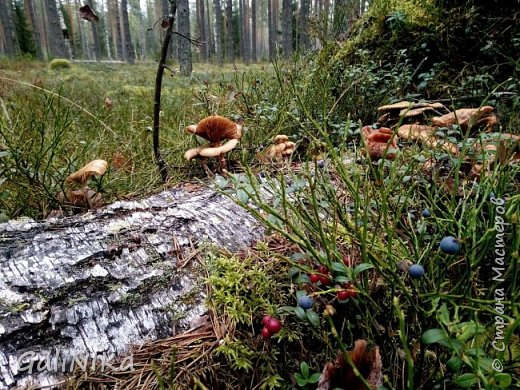 Сентябрь! Пора за грибами в лес идти!  Вырос беленький красавец около дорожки, на радость тому, кто мимо идёт и его заметит...  Заметила я, и скорее фотографирую!  фото 25
