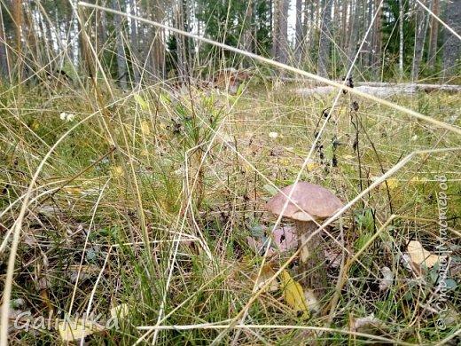 Сентябрь! Пора за грибами в лес идти!  Вырос беленький красавец около дорожки, на радость тому, кто мимо идёт и его заметит...  Заметила я, и скорее фотографирую!  фото 27