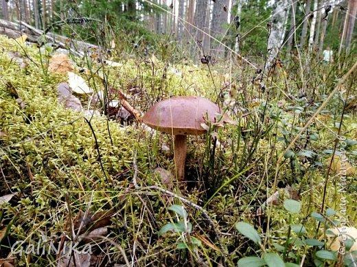 Сентябрь! Пора за грибами в лес идти!  Вырос беленький красавец около дорожки, на радость тому, кто мимо идёт и его заметит...  Заметила я, и скорее фотографирую!  фото 28