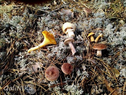 Сентябрь! Пора за грибами в лес идти!  Вырос беленький красавец около дорожки, на радость тому, кто мимо идёт и его заметит...  Заметила я, и скорее фотографирую!  фото 31