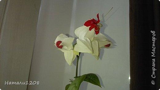 Радует новый цветок - клеродендрум.  Интересные видео по выращиванию этого замечательного цветка : https://www.youtube.com/watch?v=QcRScm_6LnY https://www.youtube.com/watch?v=lzjbMc0Dk8I фото 1