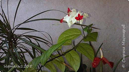 Радует новый цветок - клеродендрум.  Интересные видео по выращиванию этого замечательного цветка : https://www.youtube.com/watch?v=QcRScm_6LnY https://www.youtube.com/watch?v=lzjbMc0Dk8I фото 2