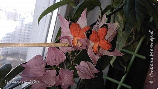 Радует новый цветок - клеродендрум.  Интересные видео по выращиванию этого замечательного цветка : https://www.youtube.com/watch?v=QcRScm_6LnY https://www.youtube.com/watch?v=lzjbMc0Dk8I фото 4