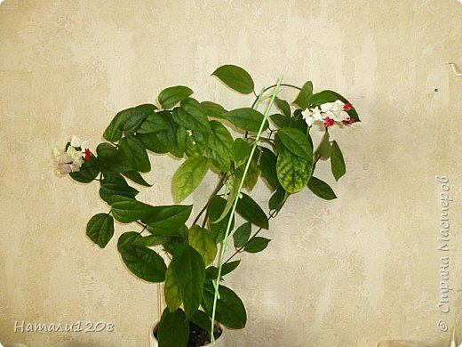 Радует новый цветок - клеродендрум.  Интересные видео по выращиванию этого замечательного цветка : https://www.youtube.com/watch?v=QcRScm_6LnY https://www.youtube.com/watch?v=lzjbMc0Dk8I фото 3