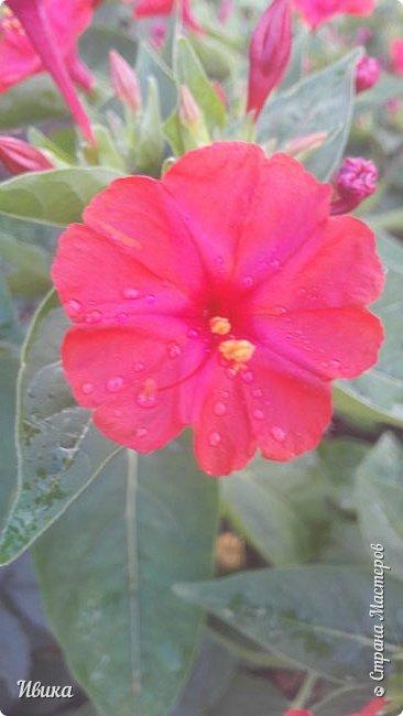 Доброго времени суток, дорогие соседи! Представляю вам ещё одну мою любимицу - мирАбилис! Или Ночная красавица или Зорька.  Вот посмотрите на неё. Нежная такая. После дождика, в капельках воды. фото 9