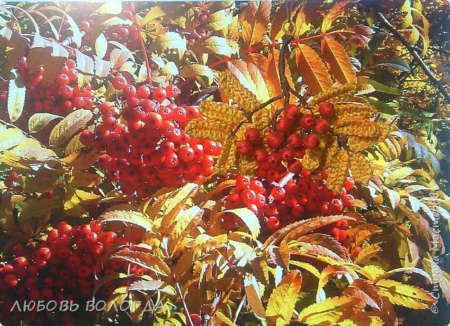 Грозди рябины ярко краснеют, Летнего солнца жар излучая. Стояла рябина почти неприметной, Сегодня собою лес украшает.  Автор: Коломбина  фото 1