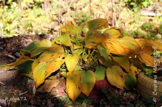 Здравствуйте!!!  Прошла уже половина октября и природа не перестаёт нас радовать своим теплом (сегодня обещали +19,у меня сейчас,в 11часов,показывает +15 в тени))  и красотой!!! фото 21