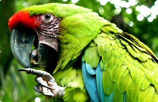 Анурарикикуна живёт на берегу огромной реки Амазонки в густом тропическом лесу, где всегда жарко и влажно, и где деревья растут так часто, что солнечный свет с трудом проникает сквозь их густо сплетённые ветви. Анурарикикуна это тапир. Забавное, слегка неуклюжее с виду животное, с коротким хоботком. Но Анурарикикуна не простой тапир. Он настоящая знаменитость среди своих сородичей. Взрослые тапиры уважают его, а малыши-тапирчики и вовсе восхищаются им и могут часами слушать увлекательные рассказы о его приключениях. Да и как, в самом деле, не уважать и не восхищаться тем, кто носит такое звучное имя? Ведь Анурарикикуна с языка тапиров переводится как «отважный путешественник по Великой воде». Согласитесь, что это звучит весьма внушительно, особенно для такого существа как тапир, тем более, что имя своё Анурарикикуна вполне заслужил - мало кто из его сородичей, когда-либо отваживался на такое далёкое путешествие, ведь оно таит в себе столько опасностей и преград.  Впрочем, так было не всегда.  Это сейчас Анурарикикуна носит гордое имя и пользуется всеобщим уважением, а в то время о котором будет мой рассказ он звался просто Рики или Рики-путешественник, если  уж быть совсем точной. Путешественник, было прозвище Рики, которое тот считал очень обидным для себя и, надо сказать, не спроста, ведь дано оно было ему окружающими в насмешку за его прямо-таки феноменальную способность попадать в самые разные, неприятные  и нелепые ситуации. - Какой несносный ребёнок, - качали головами взрослые. А всё дело было лишь в том, что малыш Рики был слишком любопытен и непоседлив. Ему всегда и до всего было дело, мир казался ему таким огромным и удивительным, что он просто не в состоянии был усидеть на одном месте. Увлёкшись чем-нибудь, он сам не замечал как уходил далеко от дома, да так, что самостоятельно уже вряд ли смог бы найти дорогу обратно. К счастью для него родители вовремя спохватывались и начинали искать сына.     В лесу то и дело раздавались их тревожные крики: «Рики! Рики