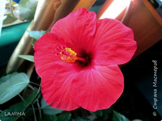 Цветы в моей жизни играют не моловажную роль!Я  люблю свои растения.  Вижу свой вклад в них,  вижу, как они растут, и как они благодарны мне. Они любят меня, не потому, что я хорошая или плохая, они любят меня, потому, что я с ними рядом,  просто потому, что я о них забочусь…  вот  ты сажаешь в землю малюсенькое семечко, которое зачастую похоже на пыль, и видишь как  из земли появлялся маленький зелёный росток, который расправляется, и вырастает в большое растение. Это просто чудо! Оно завораживает  меня. Я чувствую себя ответственной  за него, за его жизнь.  Я понимаю, что это моё создание, к появлению и жизни которого, я приложила свою руку.  В моменты, когда я что-то делаю для них: поливаю или убираю, я разговариваю с ними. Когда мне приходится обрезать ветки, я понимаю, что я режу живое, что растению больно. В эти моменты я говорю им, что так нужно, потерпи, все будет хорошо. Скорее всего, это звучит глупо, и возможно кому-то покажется, что я сошла с ума. Однако я уверена, они тоже живые, просто уровень осознанности у них другой. Растения благодарные, а благодарят они нас за заботу о них своей красотой, вот этой красотой я и хочу поделиться с вами! Цветы умеют улучшать настроение, это я знаю совершенно точно, и пусть у каждого из вас всегда будет яркое цветочное настроение!!!!! покажу и комнатные и садовые свои цветули. гибискус простой