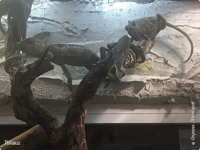 Доброго времени суток, дорогие соседи! Хочу поделиться с вами фото, сделанные в Черкасском зоопарке (Украина). Устав от праздничной суеты, от сидения в квартире мы с дочей пошли гулять, несмотря на мороз.  Мороз и солнце! Красота! Зоопарк расположен в очень красивой парковой зоне! (Это для другой истории.) фото 19