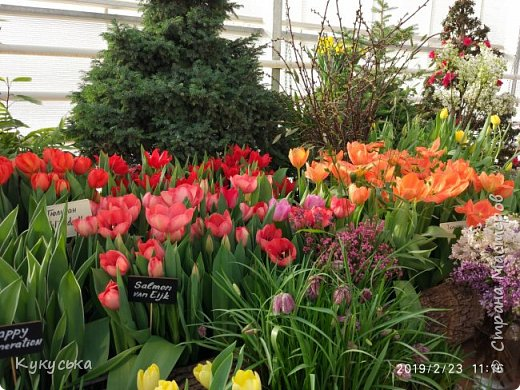 """Стоял обычный февральский, слегка морозный денек - 23 февраля) А в самом сердце Москвы, в Ботаническом саду МГУ, открылась выставка """" Репетиция весны"""" И, конечно же, захотелось насладиться этими красками, запахами, цветом! Поехала прям к открытию) Благо в очереди пришлось стоять минут 10 всего. Еще и первым 313 посетителям (число не простое - 313 лет в этом году Аптекарскому огороду) в подарок - тюльпан)  Насладитесь кусочком долгожданной весны!"""