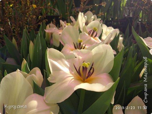 """Стоял обычный февральский, слегка морозный денек - 23 февраля) А в самом сердце Москвы, в Ботаническом саду МГУ, открылась выставка """" Репетиция весны"""" И, конечно же, захотелось насладиться этими красками, запахами, цветом! Поехала прям к открытию) Благо в очереди пришлось стоять минут 10 всего. Еще и первым 313 посетителям (число не простое - 313 лет в этом году Аптекарскому огороду) в подарок - тюльпан)  Насладитесь кусочком долгожданной весны! фото 13"""