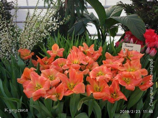 """Стоял обычный февральский, слегка морозный денек - 23 февраля) А в самом сердце Москвы, в Ботаническом саду МГУ, открылась выставка """" Репетиция весны"""" И, конечно же, захотелось насладиться этими красками, запахами, цветом! Поехала прям к открытию) Благо в очереди пришлось стоять минут 10 всего. Еще и первым 313 посетителям (число не простое - 313 лет в этом году Аптекарскому огороду) в подарок - тюльпан)  Насладитесь кусочком долгожданной весны! фото 6"""
