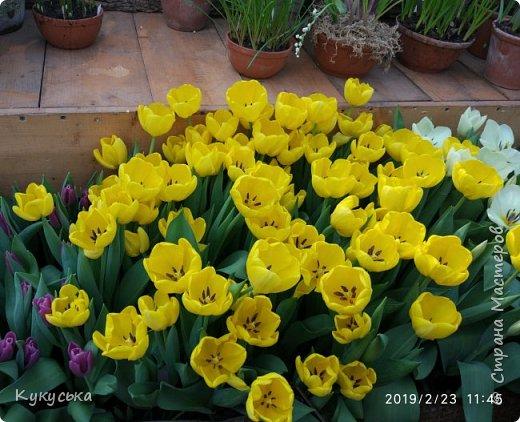 """Стоял обычный февральский, слегка морозный денек - 23 февраля) А в самом сердце Москвы, в Ботаническом саду МГУ, открылась выставка """" Репетиция весны"""" И, конечно же, захотелось насладиться этими красками, запахами, цветом! Поехала прям к открытию) Благо в очереди пришлось стоять минут 10 всего. Еще и первым 313 посетителям (число не простое - 313 лет в этом году Аптекарскому огороду) в подарок - тюльпан)  Насладитесь кусочком долгожданной весны! фото 7"""