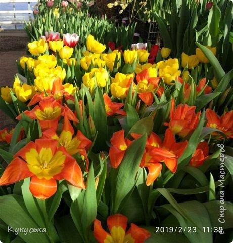 """Стоял обычный февральский, слегка морозный денек - 23 февраля) А в самом сердце Москвы, в Ботаническом саду МГУ, открылась выставка """" Репетиция весны"""" И, конечно же, захотелось насладиться этими красками, запахами, цветом! Поехала прям к открытию) Благо в очереди пришлось стоять минут 10 всего. Еще и первым 313 посетителям (число не простое - 313 лет в этом году Аптекарскому огороду) в подарок - тюльпан)  Насладитесь кусочком долгожданной весны! фото 9"""