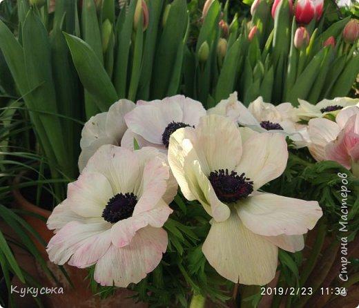 """Стоял обычный февральский, слегка морозный денек - 23 февраля) А в самом сердце Москвы, в Ботаническом саду МГУ, открылась выставка """" Репетиция весны"""" И, конечно же, захотелось насладиться этими красками, запахами, цветом! Поехала прям к открытию) Благо в очереди пришлось стоять минут 10 всего. Еще и первым 313 посетителям (число не простое - 313 лет в этом году Аптекарскому огороду) в подарок - тюльпан)  Насладитесь кусочком долгожданной весны! фото 21"""