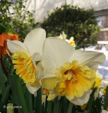 """Стоял обычный февральский, слегка морозный денек - 23 февраля) А в самом сердце Москвы, в Ботаническом саду МГУ, открылась выставка """" Репетиция весны"""" И, конечно же, захотелось насладиться этими красками, запахами, цветом! Поехала прям к открытию) Благо в очереди пришлось стоять минут 10 всего. Еще и первым 313 посетителям (число не простое - 313 лет в этом году Аптекарскому огороду) в подарок - тюльпан)  Насладитесь кусочком долгожданной весны! фото 19"""