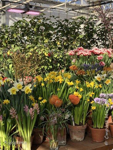 """Стоял обычный февральский, слегка морозный денек - 23 февраля) А в самом сердце Москвы, в Ботаническом саду МГУ, открылась выставка """" Репетиция весны"""" И, конечно же, захотелось насладиться этими красками, запахами, цветом! Поехала прям к открытию) Благо в очереди пришлось стоять минут 10 всего. Еще и первым 313 посетителям (число не простое - 313 лет в этом году Аптекарскому огороду) в подарок - тюльпан)  Насладитесь кусочком долгожданной весны! фото 28"""