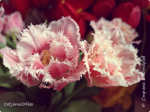 Я очень ждала весну,,очень хотела создать альбом с моими любимыми цветами,,,тюльпанами,,,Вот весна идёт цветы начинают радовать своей красотой,яркостью,запахами и  ощутимым  настроением фото 3