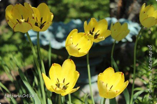 Я очень ждала весну,,очень хотела создать альбом с моими любимыми цветами,,,тюльпанами,,,Вот весна идёт цветы начинают радовать своей красотой,яркостью,запахами и  ощутимым  настроением фото 9