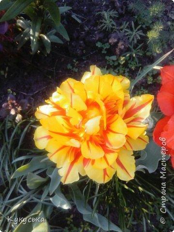 Наступила долгожданная весенняя пора. Раскрыли солнышку свои объятия тюльпаны! фото 6