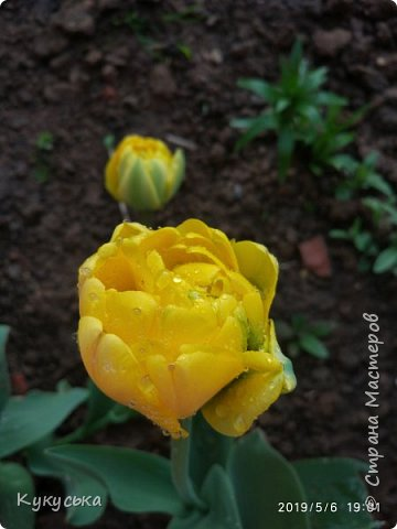 Наступила долгожданная весенняя пора. Раскрыли солнышку свои объятия тюльпаны! фото 21