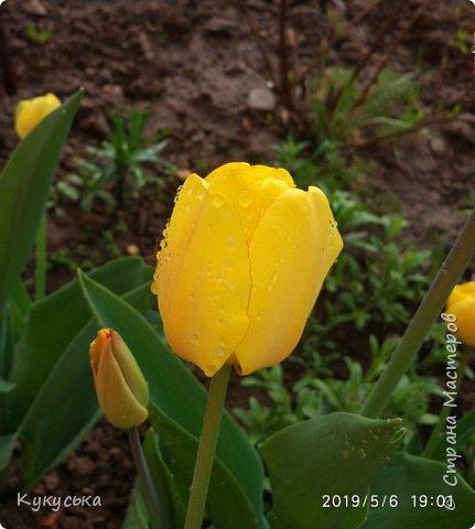 Наступила долгожданная весенняя пора. Раскрыли солнышку свои объятия тюльпаны! фото 20