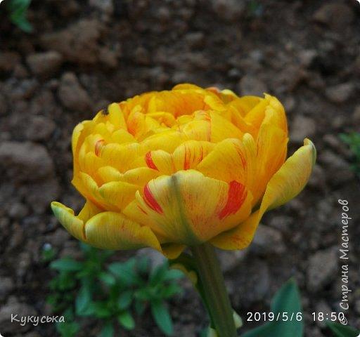 Наступила долгожданная весенняя пора. Раскрыли солнышку свои объятия тюльпаны! фото 19