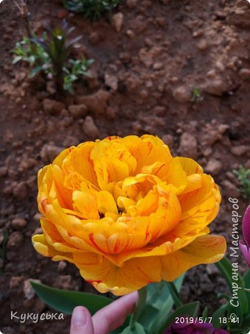 Наступила долгожданная весенняя пора. Раскрыли солнышку свои объятия тюльпаны! фото 18