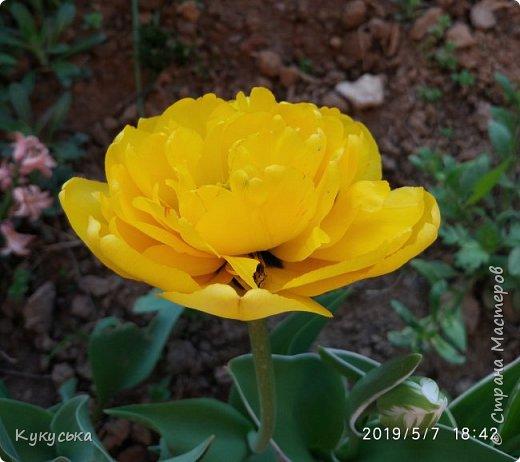 Наступила долгожданная весенняя пора. Раскрыли солнышку свои объятия тюльпаны! фото 17