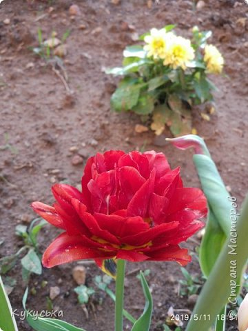 Наступила долгожданная весенняя пора. Раскрыли солнышку свои объятия тюльпаны! фото 15